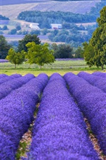 Preview iPhone wallpaper France, Provence, lavender flowers field