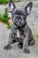 Preview iPhone wallpaper French bulldog, cute gray puppy