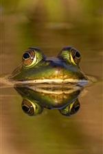 Frog, water, summer