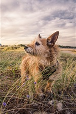 Preview iPhone wallpaper Furry dog, grass, house, clouds