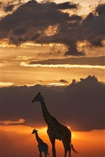 Preview iPhone wallpaper Giraffes, night, grass, sunset