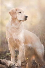 Preview iPhone wallpaper Golden Retriever, dog, look back