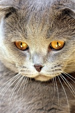 Preview iPhone wallpaper Gray kitten look, yellow eyes