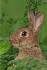 Preview iPhone wallpaper Gray rabbit, green leaves