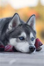Preview iPhone wallpaper Husky rest, blue eyes dog