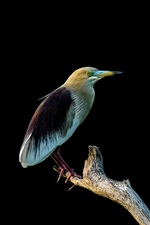 Preview iPhone wallpaper Indian yellow heron, black background