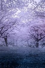 Japan, Sakura, spring, park, flowers