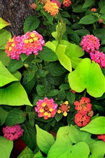 Lantana flowers, green leaves