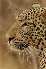 Preview iPhone wallpaper Leopard side view, predator