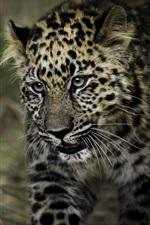 Preview iPhone wallpaper Leopard, spot, predator, grass