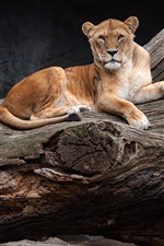 Preview iPhone wallpaper Lion and lionesses rest