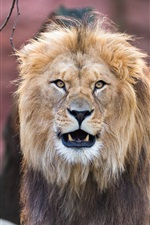 Preview iPhone wallpaper Lion front view, mane, teeth