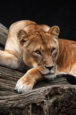 Preview iPhone wallpaper Lioness, tree, rest