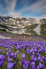 Preview iPhone wallpaper Many crocus blossom, lake, mountains, snow, spring