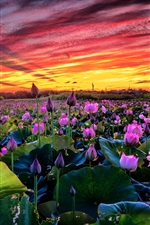Preview iPhone wallpaper Many pink lotus, pond, sunset