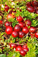 Many red berries, cranberry, plants
