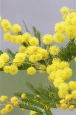 Mimosa flores amarelas