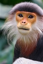 Preview iPhone wallpaper Monkey, exotic