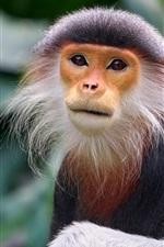 Monkey, exotic