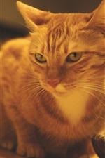 Orange cat, table, room