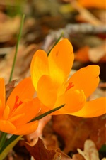 Orange flowers, crocuses