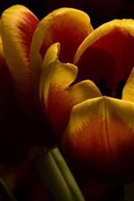 Orange tulips, black background