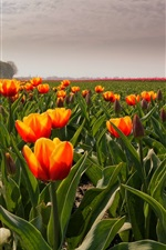 Preview iPhone wallpaper Orange tulips, field