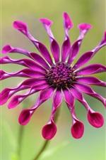 Osteospermum, purple petals