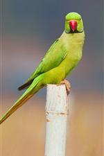 Parakeet, bird, stump