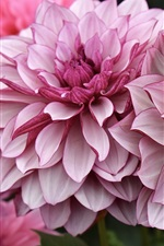 iPhone fondos de pantalla Dalia rosa, flores, jardín
