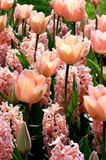 Preview iPhone wallpaper Pink flowers, hyacinths and tulips