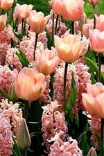 iPhone壁紙のプレビュー ピンクの花、ヒヤシンス、チューリップ