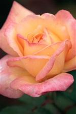 Preview iPhone wallpaper Pink orange petals, rose flower