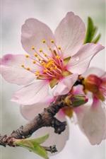 iPhone fondos de pantalla Flores rosadas del melocotón florecen, primavera