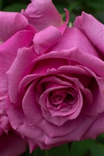 Preview iPhone wallpaper Pink rose, petals, blurry background