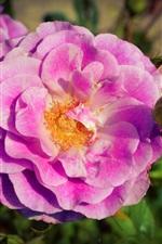 Preview iPhone wallpaper Pink roses, flower buds, garden