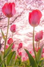 Preview iPhone wallpaper Pink tulips flowering, trees, spring