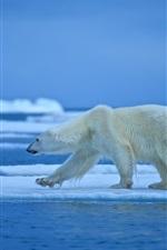 Polar bear walk, ice, snow, sea