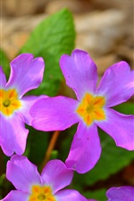 Primula, pink flowers, spring