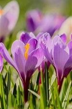 Preview iPhone wallpaper Purple flowers, flowering, crocuses, spring