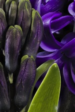 Purple hyacinth macro photography, petals