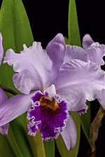 Preview iPhone wallpaper Purple orchid, black background