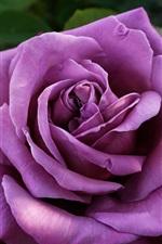 Preview iPhone wallpaper Purple petals rose close-up