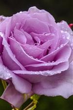 Purple roses, petals, water droplets