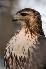 Preview iPhone wallpaper Red-Tailed Hawk, head, eyes