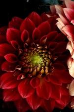 Red dahlias, petals, black background