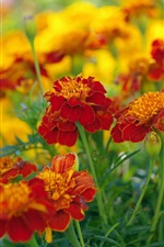 Preview iPhone wallpaper Red-orange flowers, marigolds, plants