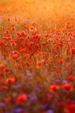 Preview iPhone wallpaper Red poppies flowers field, sunshine, morning