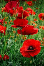 Preview iPhone wallpaper Red poppies flowers, spring