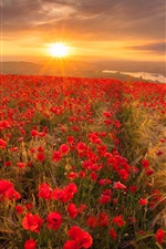 Preview iPhone wallpaper Red poppy flowers field, morning, sunrise